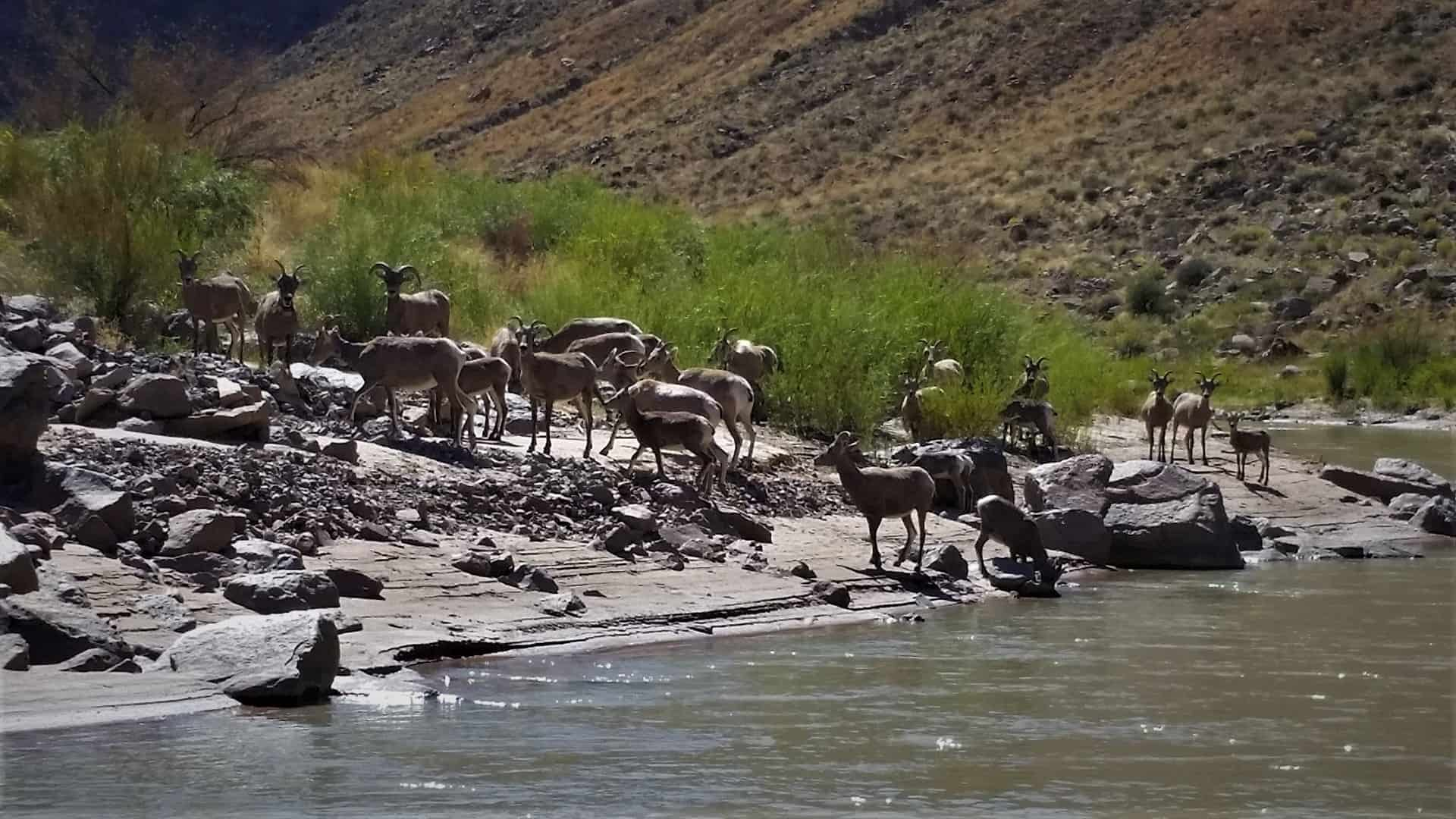 san-juan-river-bighorn-sheep