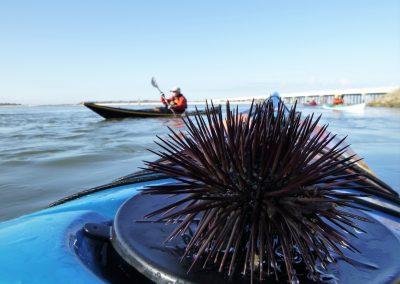 sea urchin on kayak deck matanzas ilet